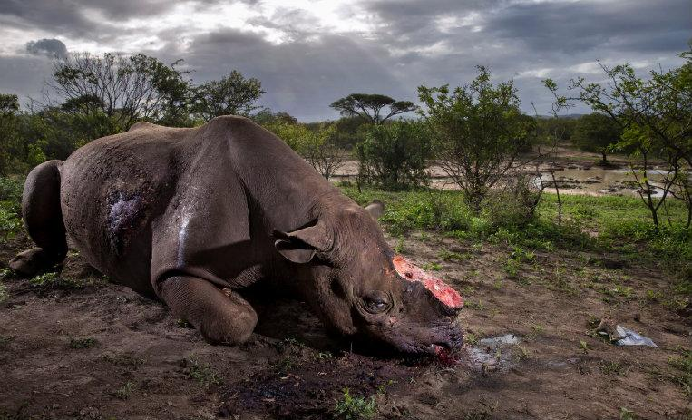 La perturbadora imagen de un rinoceronte mutilado, la foto del año