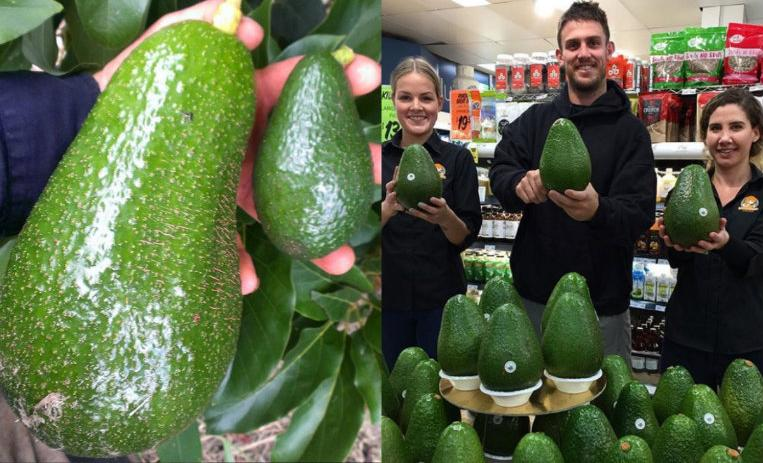 avozilla, aguacate, aguacate gigante, viral
