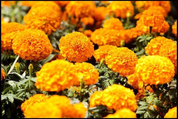 Significado de la flor de Día de Muertos — Cempasúchil