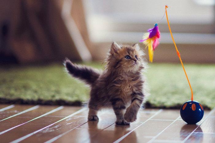 Cuida mi mascota, app, cuidado animal, gato jugando,